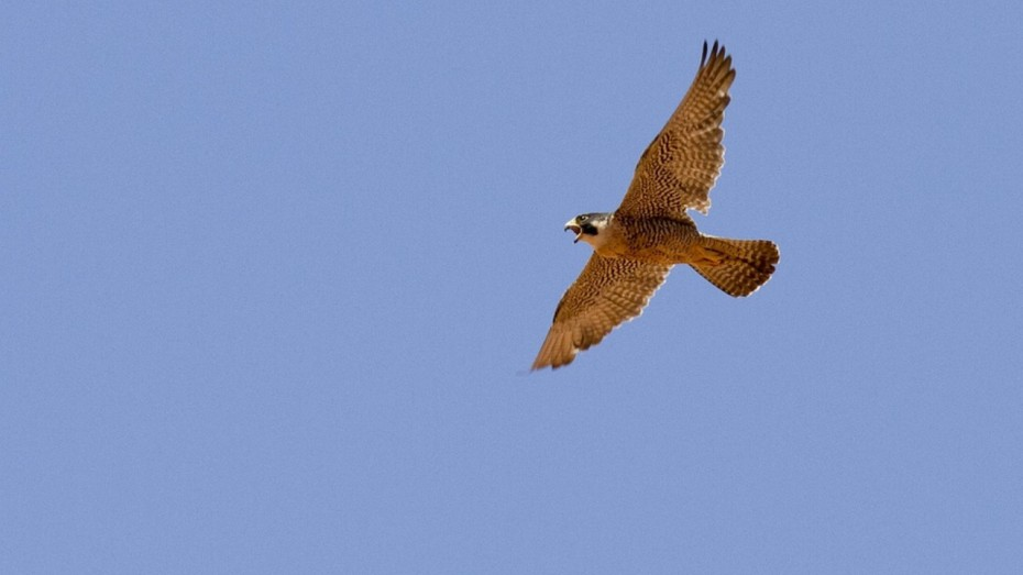 Peregrine Falcon Has Fastest Vision Speed Claims Study News Nation English